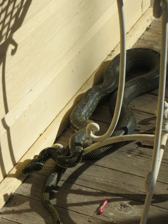 Diamond Python on verandah